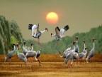 red-headed-cranes
